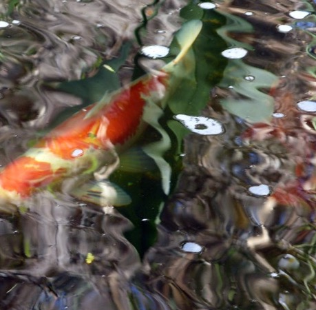 abstract-koi-phot
